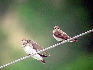 Northern Roughwinged Swallows.jpg (60288 bytes)